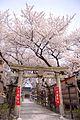 桜満開の参道.jpg