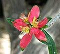 牙買加一品紅 Euphorbia punicea -新加坡濱海灣花園 Gardens by the Bay, Singapore- (24268852194).jpg