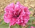 牡丹-丹爐焰 Paeonia suffruticosa 'Furnace Flame' -洛陽國家牡丹園 Luoyang, China- (12427941653).jpg