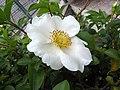 玫瑰 Rosa White Out -日本大阪門真南 Osaka, Japan- (27185872107).jpg