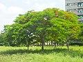 翠綠的鳳凰樹 - panoramio.jpg