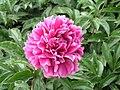 芍藥-粉玉樓 Paeonia lactiflora 'Pink Jade Pavilion' -瀋陽植物園 Shenyang Botanical Garden, China- (12380296513).jpg