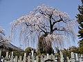 茂林院の桜 - panoramio.jpg