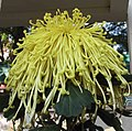 菊花-黃金撈月 Chrysanthemum morifolium 'Gold Fishing the Moon' -香港圓玄學院 Hong Kong Yuen Yuen Institute- (12129084745).jpg