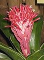 麗冠鳳梨 Quesnelia hybrida -香港公園 Hong Kong Park- (9207640336).jpg