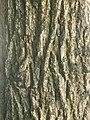 비술나무 줄기.JPG