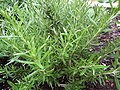 -2019-07-21 Rosemary (Rosmarinus officinalis), Trimingham.JPG