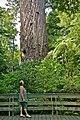 00 29 0497 Neuseeland - Kauri Baum Tane Mahuta.jpg