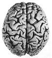 03 1 facies dorsalis cerebri sulci.jpg