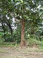 04224jfSanto Rosario La Purisima Artocarpus altilis Aliaga Nueva Ecijafvf 04.JPG