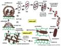 04 03 40 life cycle, Meliolales, Ascomycota (M. Piepenbring & D. Rodriguez-Justavino).png