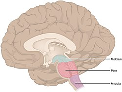 brainstem - wikipedia, Human Body