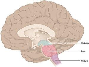 pons hjernen