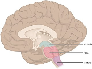 Brainstem posterior part of the brain, adjoining and structurally continuous