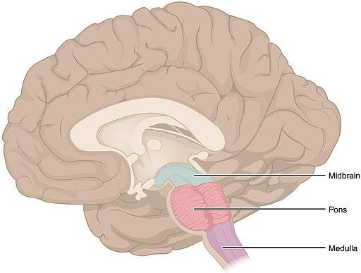 Hjärnstammen