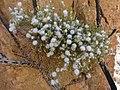 16)flore d'El kantara(Algerie).jpg