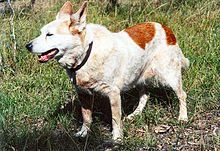 Elderly red Cattle Dog walking in the bush