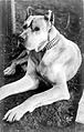1910 GreatDane.jpg