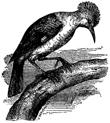 1911 EB Starling of Réunion.png