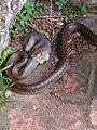 1 Aesculapian Snake in Tuscany Italy. 01.jpg