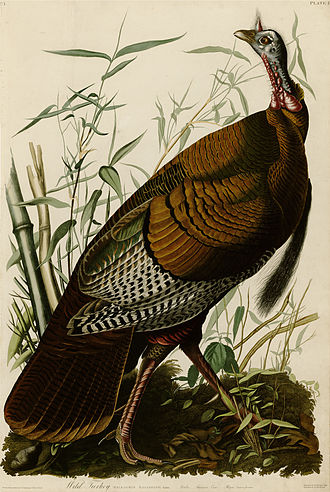 The Birds of America - Plate 1 by John James Audubon depicting a wild turkey, (Meleagris gallopavo).