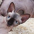 1 adult cat Sphynx. img 049.jpg