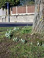 1st Snowdrops of the Year - geograph.org.uk - 1137068.jpg