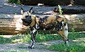 20090727 african wild dog, Lycaon pictus (3825483752).jpg