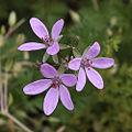 20100505 Erodium cicutarium.JPG