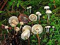 2012-06-03 Marasmius rotula (Scop.) Fr 224072.jpg