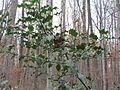 20151118Ilex aquifolium1.jpg
