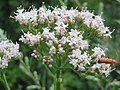 20160711Valeriana officinalis1.jpg
