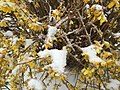 2017-03-14 09 55 21 Forsythia blossoms coated in snow and ice pellets along Tranquility Court in the Franklin Farm section of Oak Hill, Fairfax County, Virginia.jpg