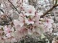 2017-04-03 16 08 45 White Flowering Cherry flowers along Ladybank Lane near Ben Nevis Court in the Chantilly Highlands section of Oak Hill, Fairfax County, Virginia.jpg