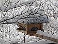 2018-01-21 (103) Parus major (great tit) on a bird table im Haltgraben, Frankenfels.jpg
