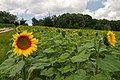 2018-07-15 Sunflowers at Museum of Folk Architecture and Ethnography in Pyrohiv, Kyiv, Ukraine 4.jpg