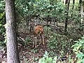 2018-09-03 15 40 41 Doe along a walking path in a wooded area of the Franklin Farm section of Oak Hill, Fairfax County, Virginia.jpg