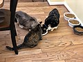 2019-10-23 18 51 36 Three cats eating in the Franklin Farm section of Oak Hill, Fairfax County, Virginia.jpg