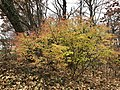 2019-11-30 11 26 44 A Euonymus during late autumn in a wooded area along a walking path in the Franklin Glen section of Chantilly, Fairfax County, Virginia.jpg