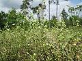 20190507Arenaria serpyllifolia2.jpg
