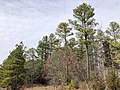 2020-02-02 12 50 53 A grove of Loblolly Pines along Old Ox Road at Virginia State Route 267 (Dulles Greenway) in the Dulles section of Sterling, Loudoun County, Virginia.jpg