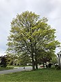 2020-04-29 11 48 07 Pin Oaks leafing out in mid spring along Hidden Meadow Drive in the Franklin Glen section of Chantilly, Fairfax County, Virginia.jpg