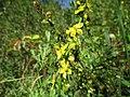 20200908Agrimonia eupatoria2.jpg