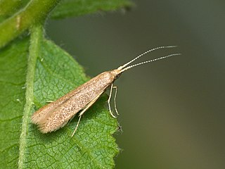 <i>Coleophora lutipennella</i> species of insect