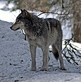 4-10-112-wolf-2 (cropped).jpg