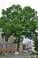 46-112-5004 Stryi Franko Oak Tree RB.jpg
