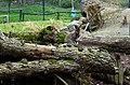 50 Jahre Knie's Kinderzoo (1962-2012) - Rotnacken-Wallaby (Macropus rufogriseus) 2012-10-03 16-02-23.JPG