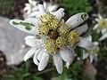 5672 - Schynige Platte - Leontopodium alpinum.JPG