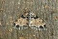 70.198 BF1879 The Seraphim, Lobophora halterata (3504023799).jpg