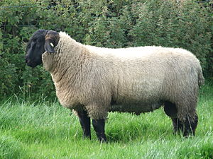 Suffolk sheep - A 7-month-old Suffolk ram